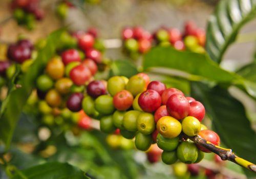 Kaffeebohnen bild
