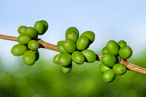 grüner kaffee bild