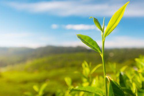 Camellia sinensis tee bild