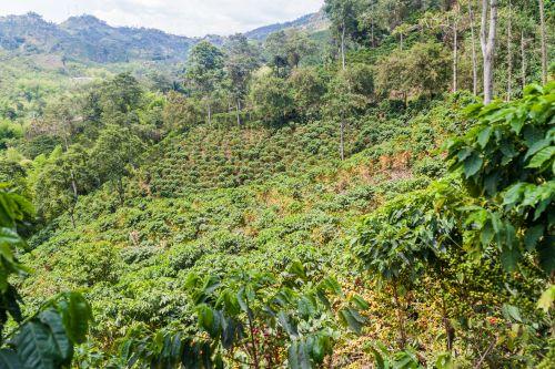 kaffee plantage bild